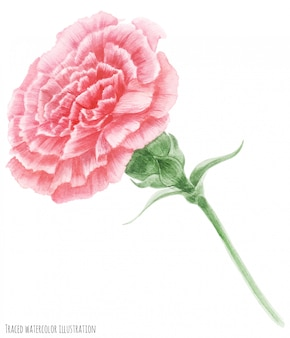 Oeillet rose symbole de la fête des mères