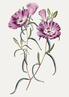 Oenothera pourpre