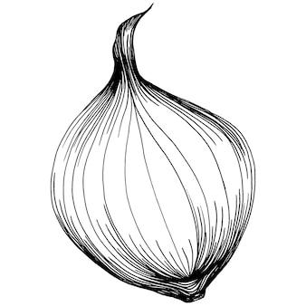 Oignon, gravure illustration vintage