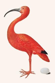 Oiseau ibis écarlate avec un vecteur d'illustration vintage d'oeuf