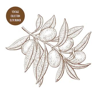 Olivier. illustration de vecteur botanique vintage dessinés à la main isolé sur fond blanc. style de croquis.
