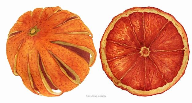 Orange séchée, aquarelle tracée