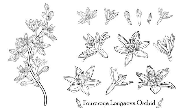 Orchidée fourcroya longaeva