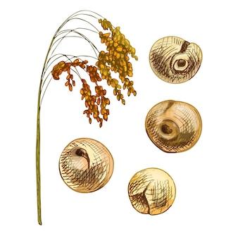 Oreilles avec grain de millet commun. illustration d'éclosion dessinée à la main vintage de couleur vectorielle isolée sur fond blanc.