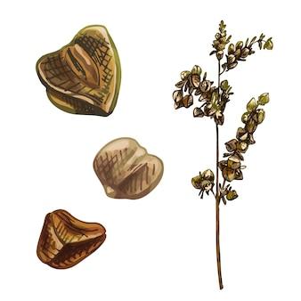 Oreilles à grain de sarrasin. illustration d'éclosion dessinée à la main vintage de couleur vectorielle isolée sur fond blanc.