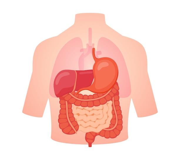 Organe d'anatomie de la biologie digestive intestin grêle gros intestin foie estomac