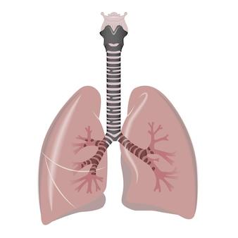 Organe interne humain des poumons. poumons humains.