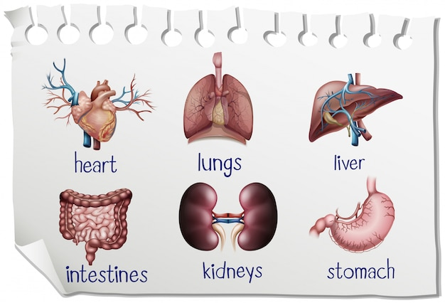 Les organes humains sur le papier
