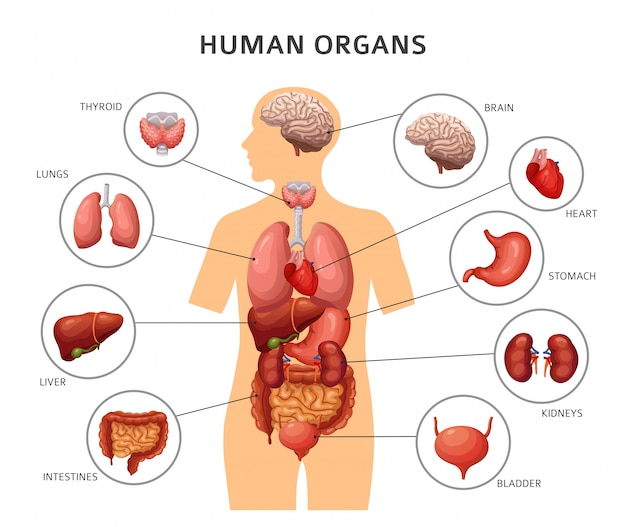 Organes internes du corps humain