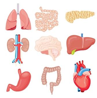 Organes internes humains isolés sur blanc. sertie de coeur intestins reins estomac poumons cerveau foie pancréas.
