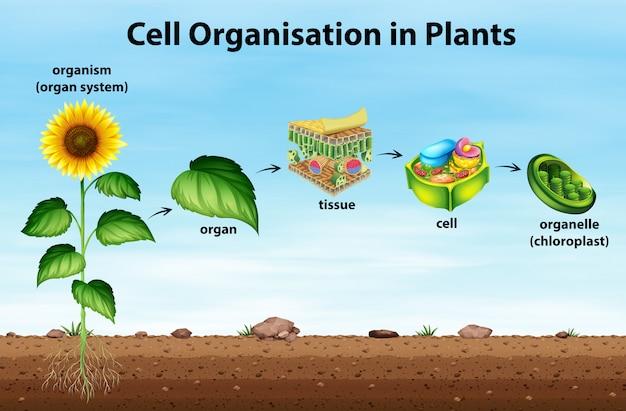 Organisation cellulaire dans les plantes
