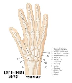 Os de l'anatomie de la main et du poignet