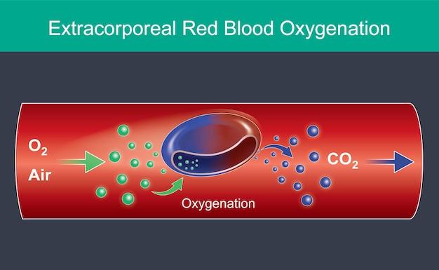 Oxygénation extracorporelle du sang rouge. illustration à usage commercial, à propos des globules rouges ont reçu des molécules d'oxygène dans les voies respiratoires et cardiaques. vecteur d'infographie.