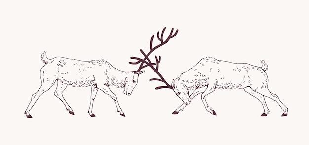 Paire de cerfs mâles se battant avec des bois pendant la saison de reproduction ou rut dessinés à la main avec des lignes de contour sur une surface claire