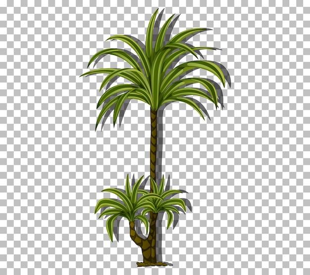 Palmier isolé sur fond transparent