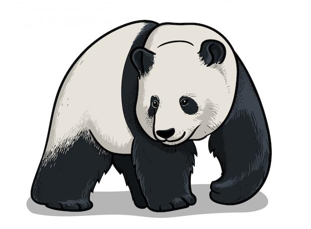 Panda, illustration de zoologie éducative, image de livre de coloriage.