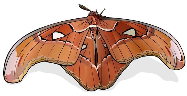 Papillon atlas papillon lorguini attacus lorguini