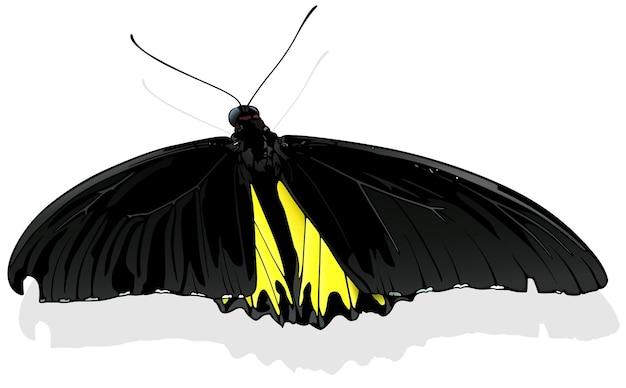 Papillon golden birdwing troides rhadamantus