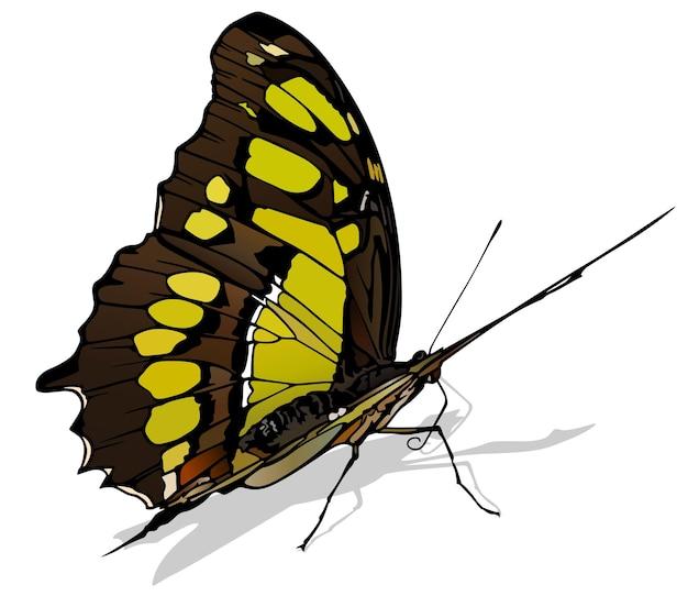 Papillon malachite siproeta stelenes