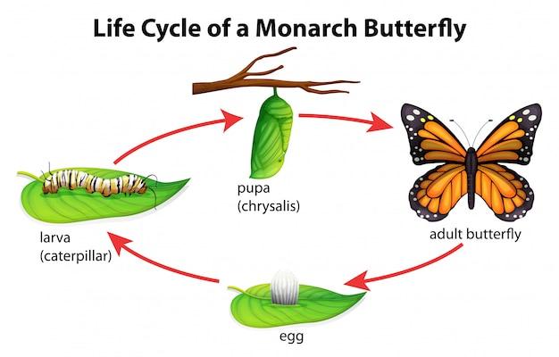 Papillon monarque