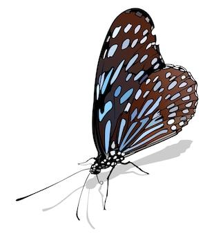 Papillon tigre bleu foncé tirumala septentrionis