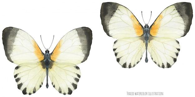 Papillons appias aquarelle
