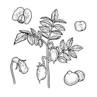 Paquet de haricots chiches et de plantes dessinés à la main réaliste