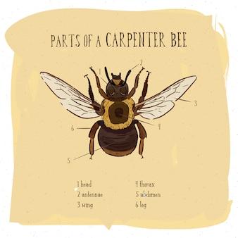 Partie d'abeille charpentier, illustration gravée vintage.