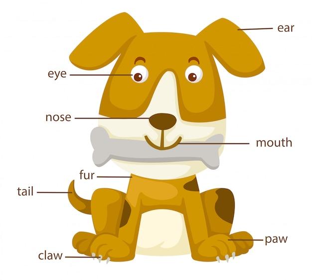 Partie vocabulaire chien vecteur corps