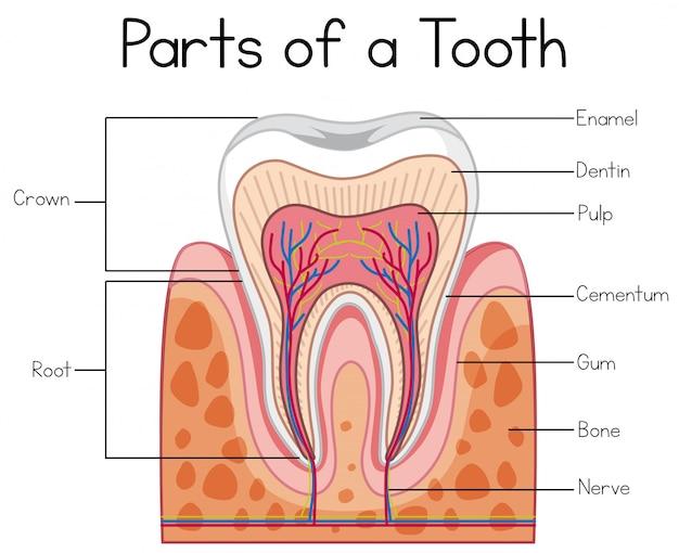 Parties d'une dent humaine