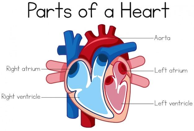 Parties du diagramme de coeur
