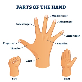 Parties de l'illustration du vocabulaire de la main. structure de la paume étiquetée avec des noms pour les doigts des bras et les phalanges.