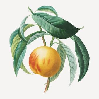 Peach vector with leaves art print, remixé à partir d'œuvres d'art d'henri-louis duhamel du monceau