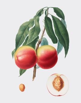 Pêche de pomona italiana illustration