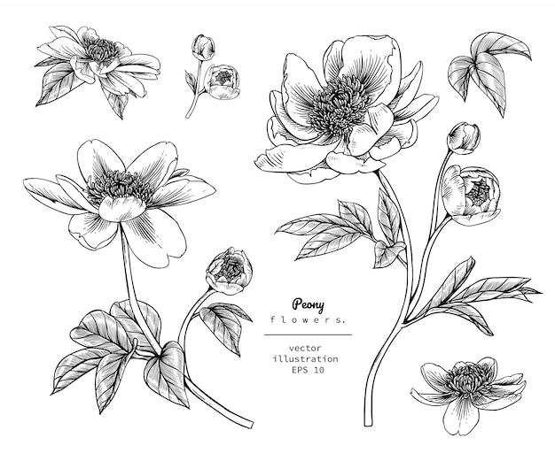 Peony pivoine et dessins de fleurs