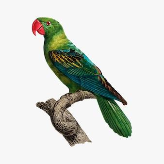 Perroquet molucca