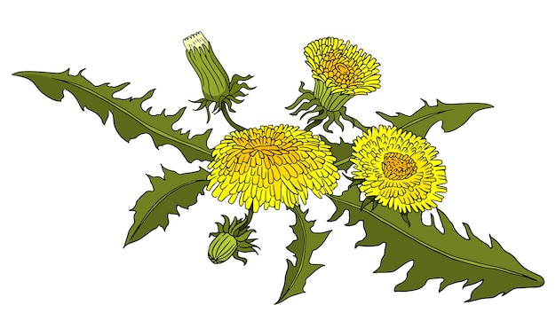 Pissenlits, doodle, illustration