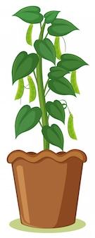 Un plant de haricot en pot