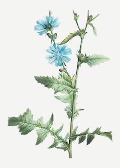 Plante de chicorée en fleurs