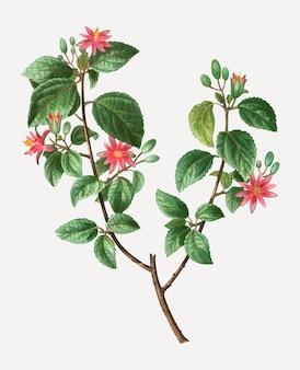 Plante crossberry