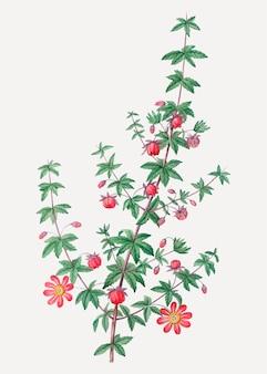 Plante à feuilles de garance