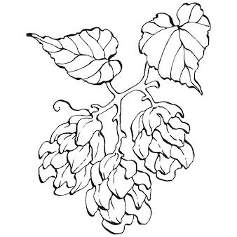 Plante de houblon, gravure illustration vintage