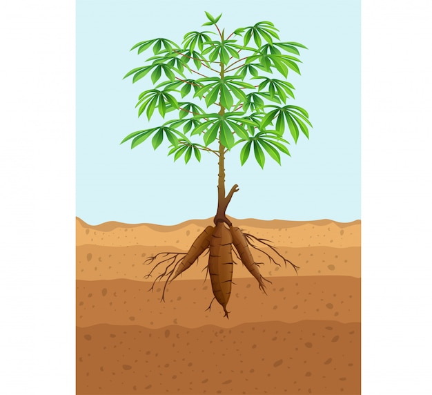 Plante de manioc avec des racines