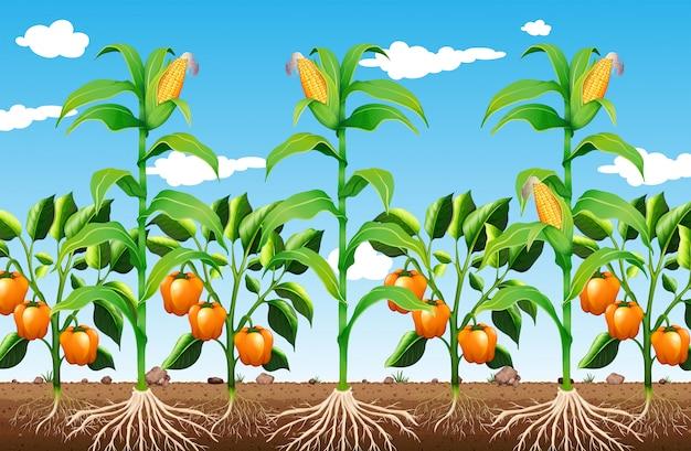 Une plante et une racine agricoles