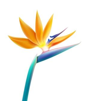 Plante tropicale de vecteur fleur oiseau de paradis ou strelitzia reginae isolé sur fond blanc