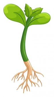Planter avec les feuilles et les racines vertes