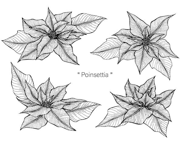 Poinsettia dessin illustration à la main dessiné au trait.