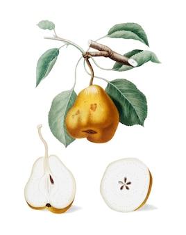 Poire de pomona italiana illustration