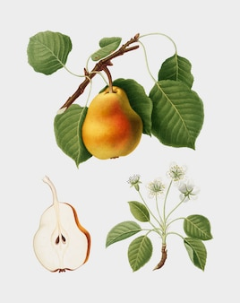 Poire de pomona italiana illustration