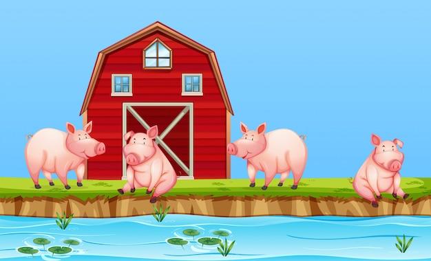 Porcs à la ferme